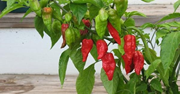Chilli carolina reaper seeds bag whole fruit dried and ground